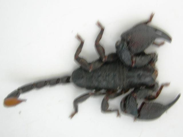 Scorpion 012