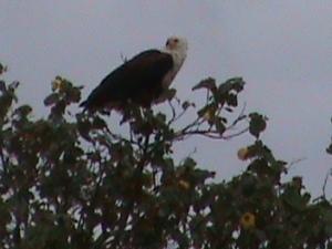 St Lucia Fish Eagle