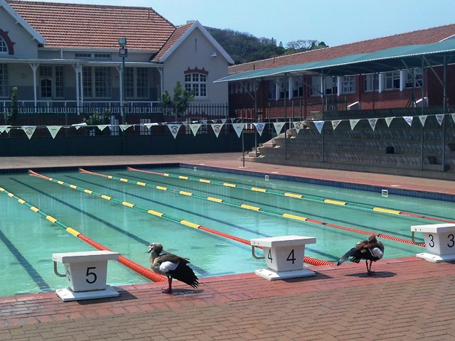 Geese at swimming training
